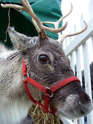 Reindeer_in_red