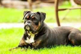 dog-1785820_960_720