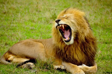 lion-1977123_960_720